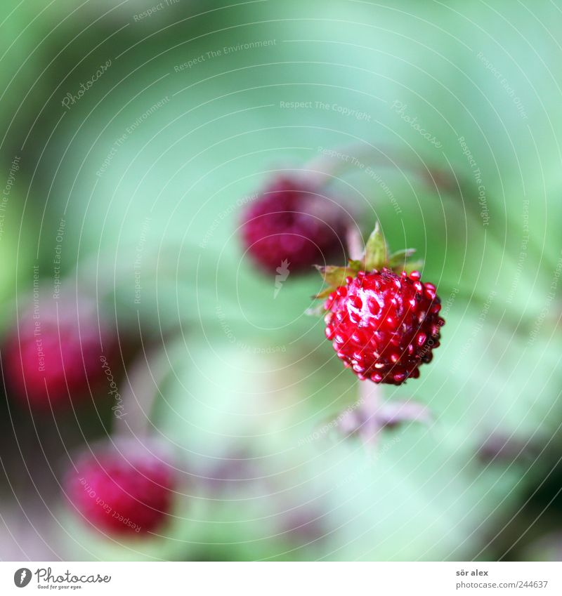 Nature Green Red Plant Summer Small Fruit Fresh Round Natural Delicious Seed Vitamin Strawberry Juicy Fruit flesh
