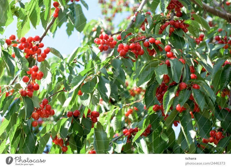 Cherries Fruit Dessert Eating Beautiful Summer Garden Nature Landscape Plant Climate Tree Leaf Growth Fresh Delicious Juicy Green Red Colour Cherry orchard