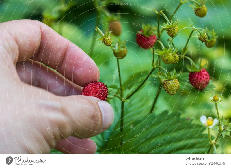 Picking wild strawberries Food Fruit Man Adults Hand Fingers Summer To hold on Wild strawberry Berries Candy Mature Harvest Tasty Colour photo Exterior shot