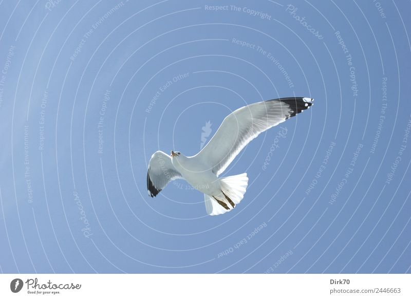 Lightness of being - White-headed Gull over the Sea of Marmara Nature Animal Sky Cloudless sky Spring Beautiful weather Warmth Ocean Istanbul Wild animal Bird