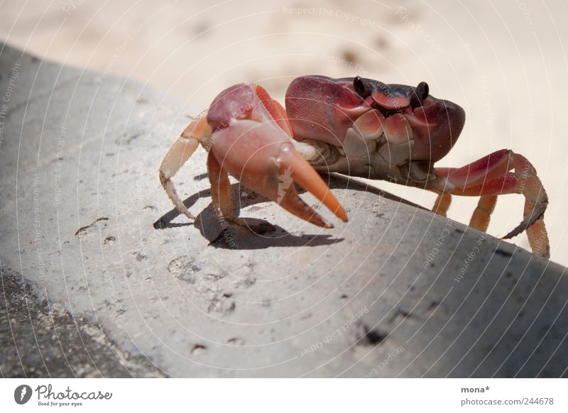 Crab climbing Summer Beach Nature Sand Curbside Animal Shrimp Crustacean 1 Crawl Small Claw Climbing Legs Red Shellfish Vacation & Travel