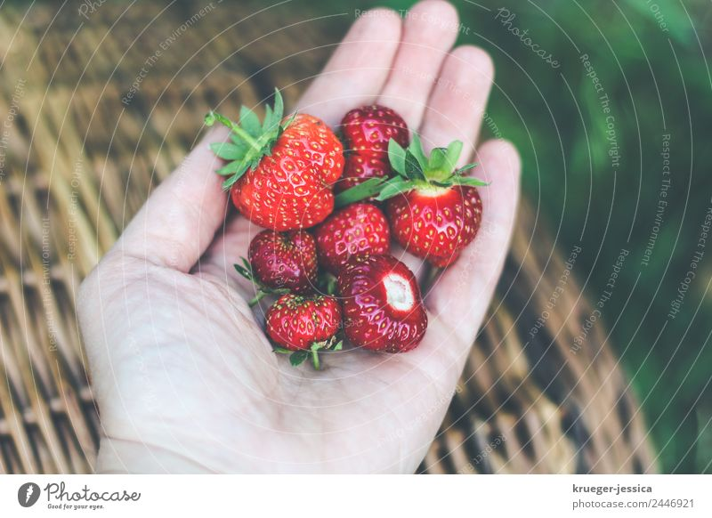 Delicious strawberries Fruit Strawberry Garden Woman Adults Plant Spring Leisure and hobbies Joy Happy Gardening Colour photo