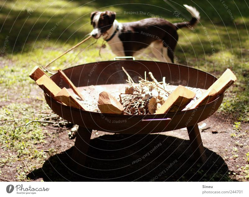 Summer Joy Animal Meadow Happy Dog Leisure and hobbies Happiness Fire Branch Beautiful weather Pet Diligent Fireplace Accumulate Shadow