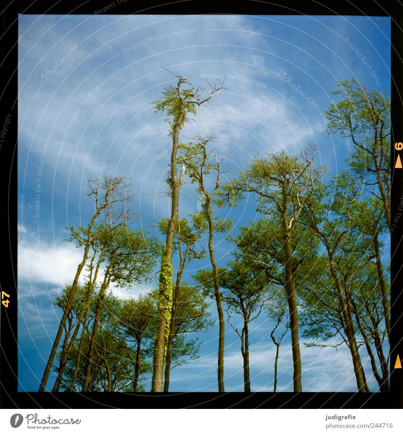 western beach Environment Landscape Plant Sky Clouds Summer Climate Beautiful weather Tree Forest Coast Baltic Sea Darss Western Beach Growth Fresh Large Tall