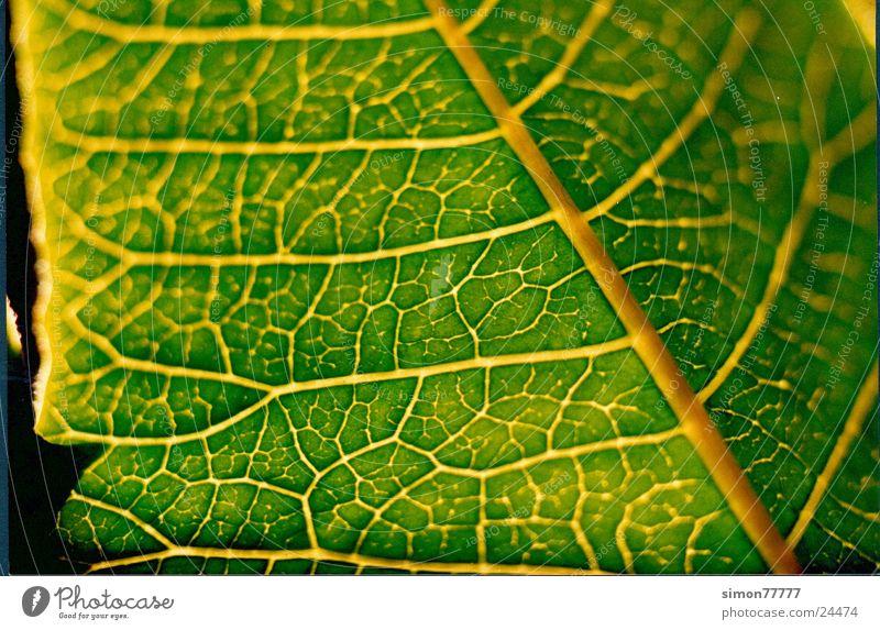Green Leaf Vessel X-rayed