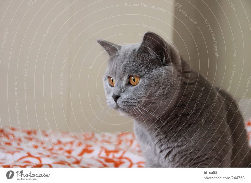 assault ... Animal Pet Cat 1 Looking Astute Watchfulness Calm British Shorthair BKH Colour photo Interior shot Close-up Copy Space left Day Animal portrait