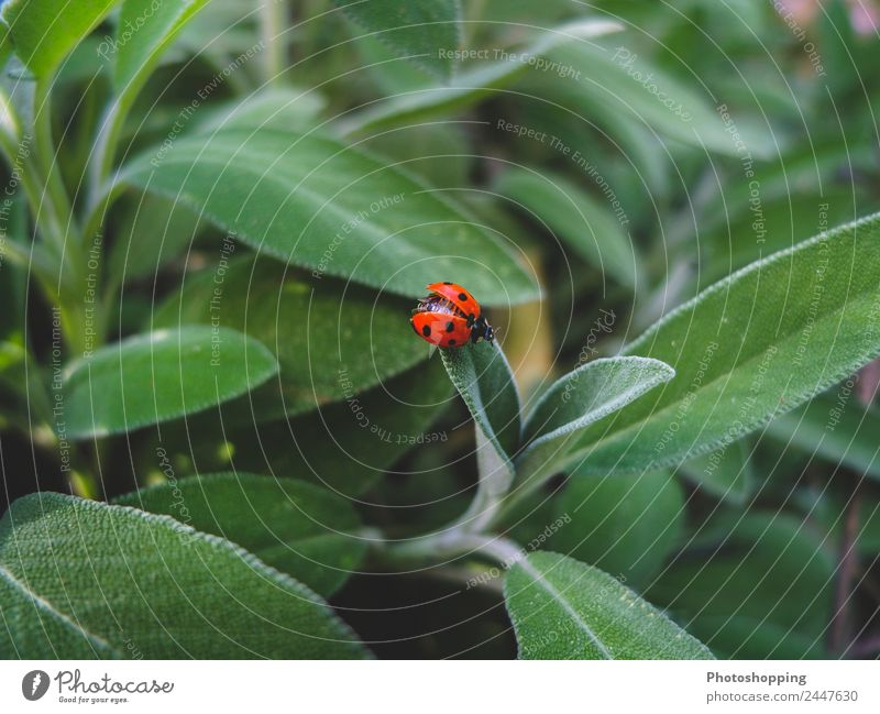 Ladybug on the sage leaves Food Herbs and spices Organic produce Vegetarian diet Beverage Tea Summer Garden Nature Plant Spring Beautiful weather Leaf Growth