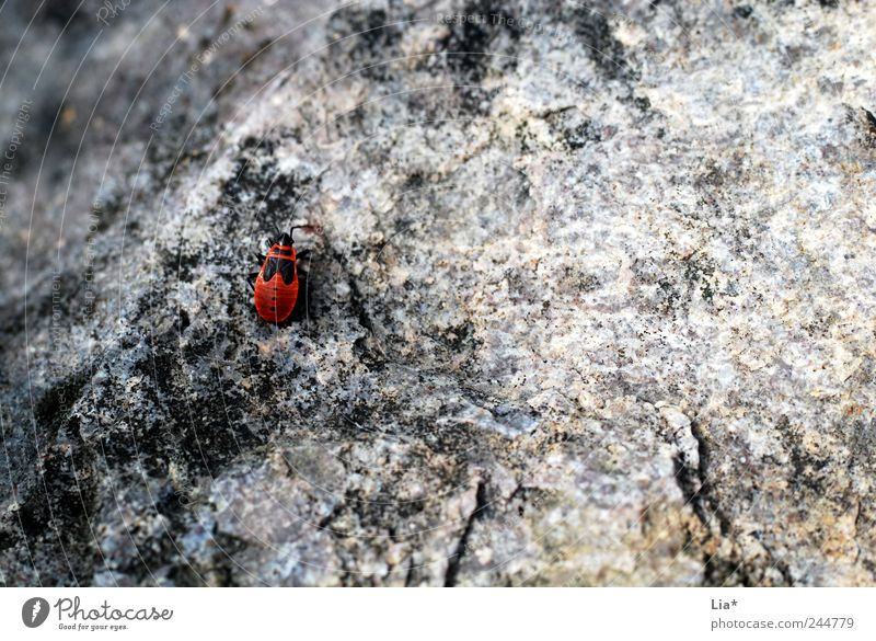 On the wall, on the lurking sits a little ... Animal Beetle 1 Crawl Sit Small Gray Red Loneliness Doomed Places Diminutive Stone Bug Rough Colour photo