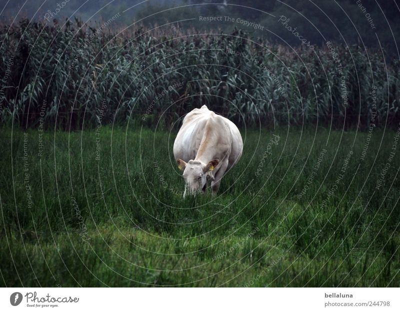 Nature White Green Plant Animal Meadow Grass Field Pelt Cow To feed Maize Farm animal Agricultural crop Wild plant Maize field