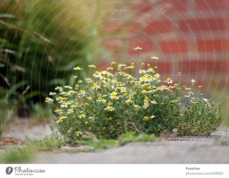 Nature Plant Flower Summer Grass Blossom Garden Wall (barrier) Bright Environment Concrete Earth Natural Elements Chamomile Building stone