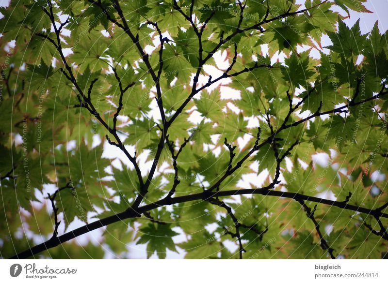 leaf canopy Nature Sun Summer Beautiful weather Leaf Bright Green Twigs and branches Colour photo Exterior shot Deserted Light