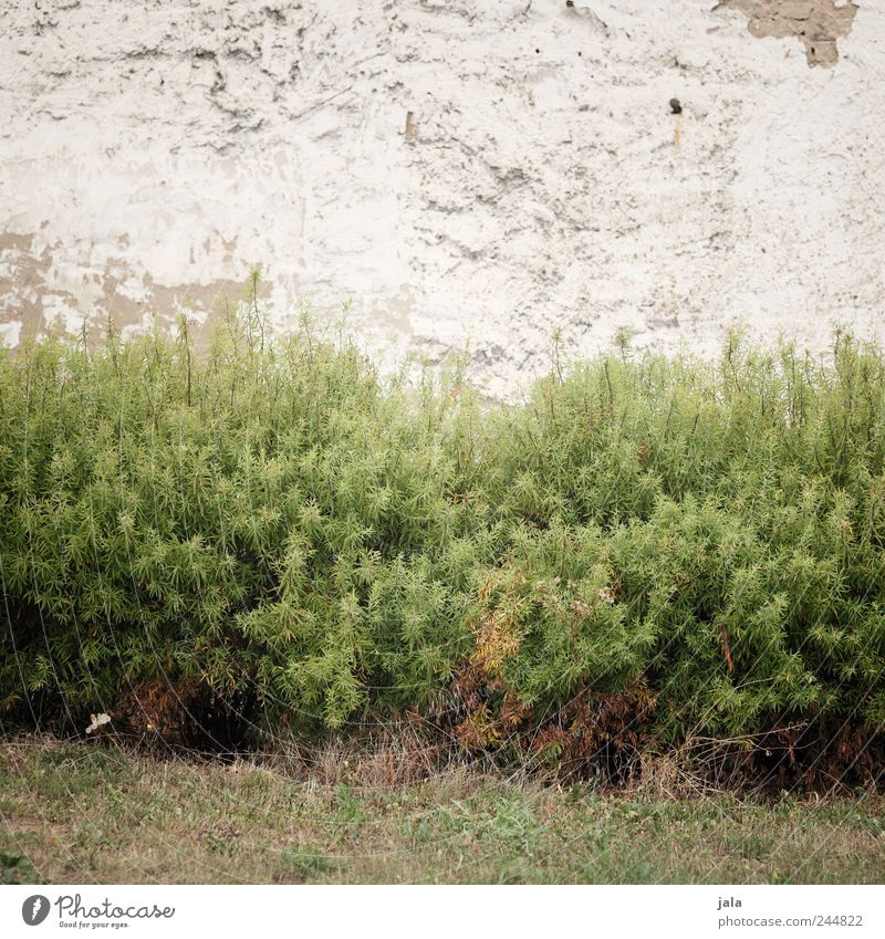 Nature Plant Wall (building) Grass Wall (barrier) Facade Gloomy Bushes Foliage plant