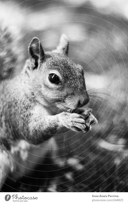 tame. Beautiful weather Park Meadow Animal Wild animal Pelt Claw Squirrel 1 To enjoy Black & white photo Exterior shot Animal portrait Looking into the camera