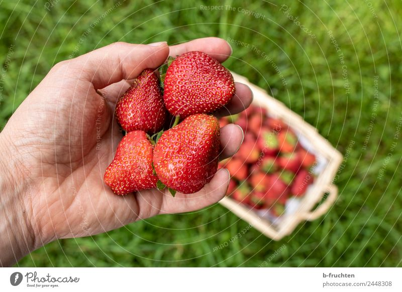 strawberry season Food Fruit Organic produce Healthy Agriculture Forestry Man Adults Hand Fingers Grass Select To hold on Fresh Red To enjoy Nature Strawberry