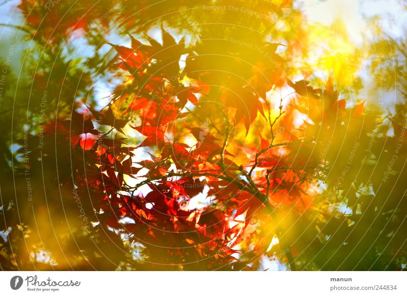 bush fire Nature Autumn Tree Maple tree Maple leaf Maple branch Twigs and branches Japan maple tree Autumnal Autumnal colours Illuminate Authentic Exceptional