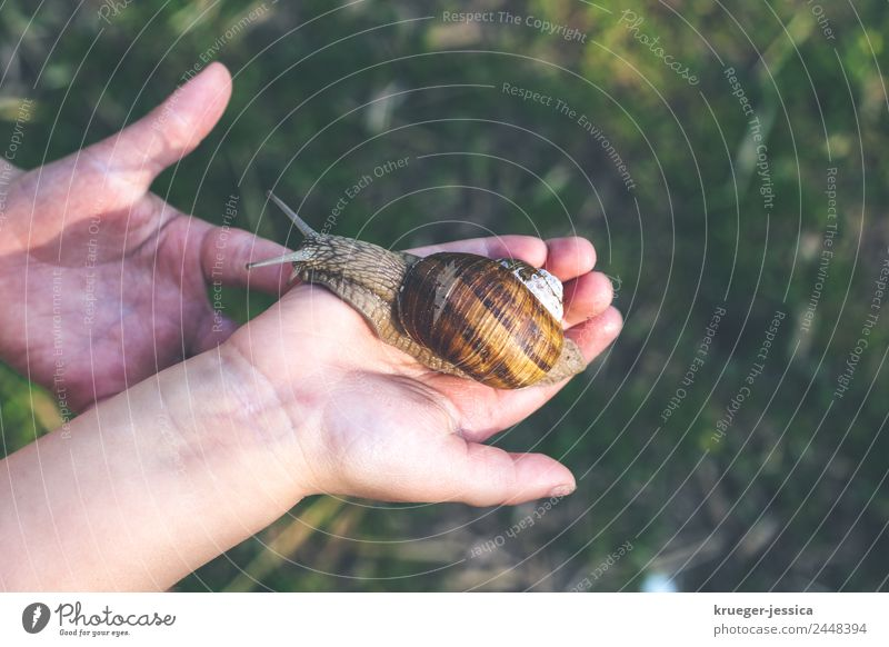 Small hands, big snail Toddler Hand Fingers 3 - 8 years Child Infancy Snail Crawl Respect Nature Vineyard snail Colour photo Exterior shot Copy Space right