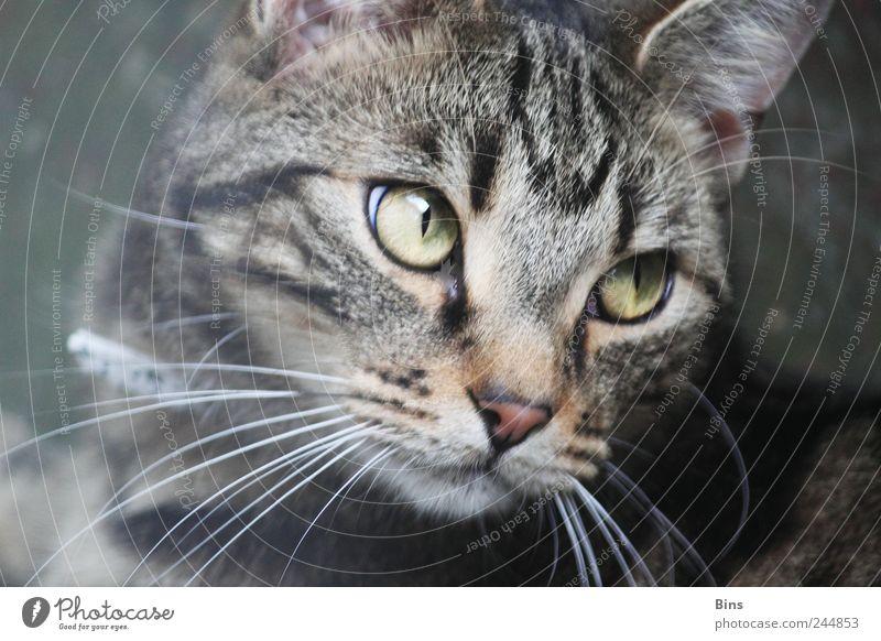 hangover Animal Pet Cat Animal face Pelt 1 Elegant Cuddly Near Curiosity Cute Beautiful Soft Gray Green Emotions Self-confident Cool (slang) Safety (feeling of)