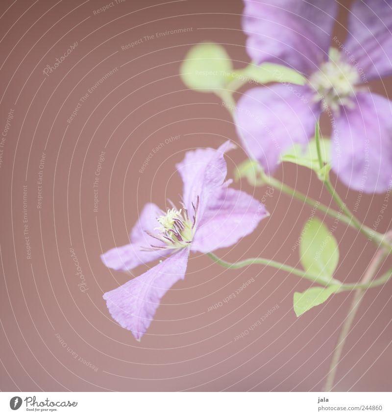 fleur Nature Plant Flower Leaf Blossom Esthetic Elegant Soft Green Violet Pink Colour photo Exterior shot Copy Space left Neutral Background Day