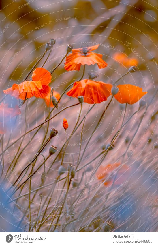 In the poppy field Elegant Design Wellness Life Harmonious Well-being Contentment Relaxation Calm Meditation Spa Decoration Wallpaper Feasts & Celebrations
