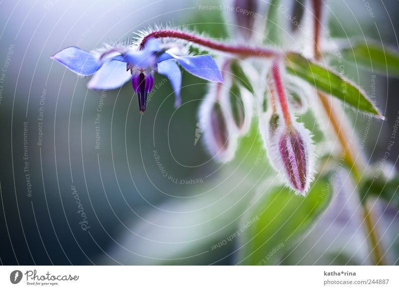 Green Blue Beautiful Red Plant Flower Summer Blossom Elegant Esthetic Violet Pure Fragrance Borage
