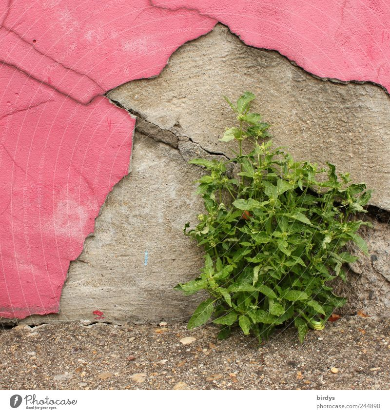 Old Green Plant Summer Wall (building) Gray Wall (barrier) Pink Growth Change Transience Decline Whimsical Joie de vivre (Vitality) Willpower Flake off