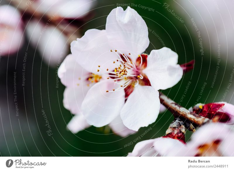 Pink Cherry Tree Flowers Blossom Close Up In Spring Branch Background picture White Nature Beautiful Close-up Macro (Extreme close-up) Plant Garden Blooming