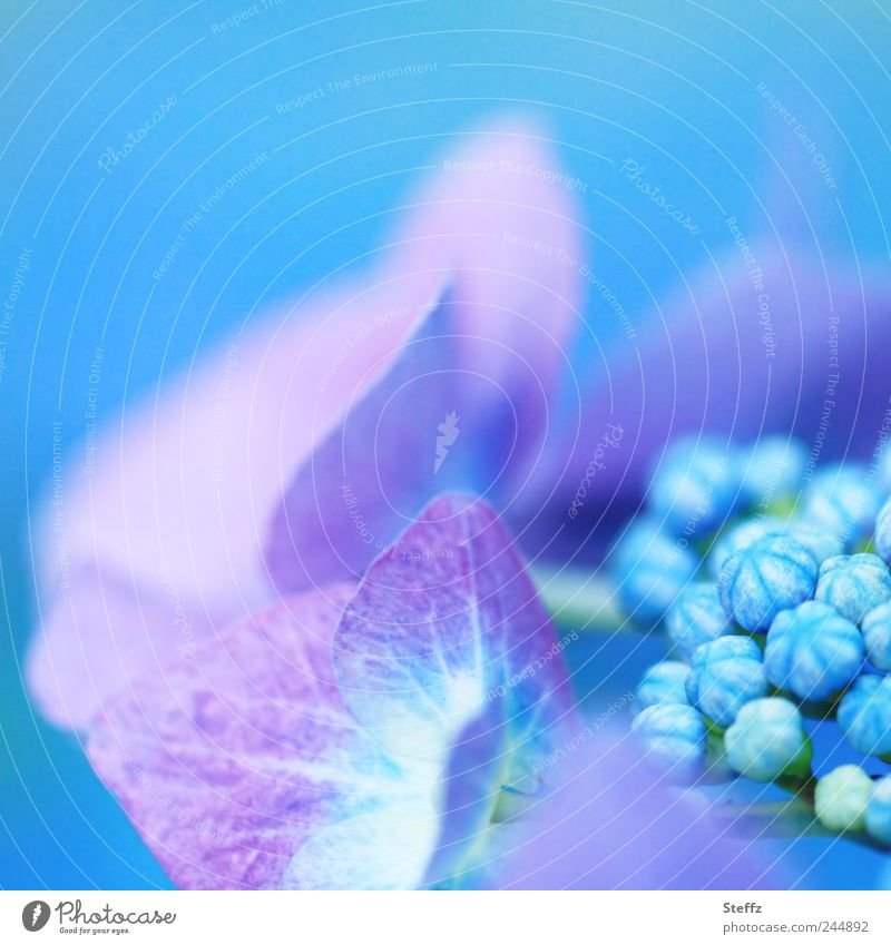 Courage to colour Nature Summer Plant Flower Blossom Hydrangea Hydrangea blossom Garden plants Blossom leave Bud Blossoming Blue Beginning Esthetic Uniqueness