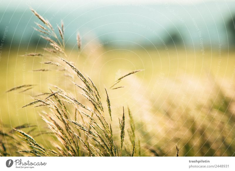 Country III Nature Agriculture Sunset Field Landscape Grain Grain field Cornfield Romance Freedom