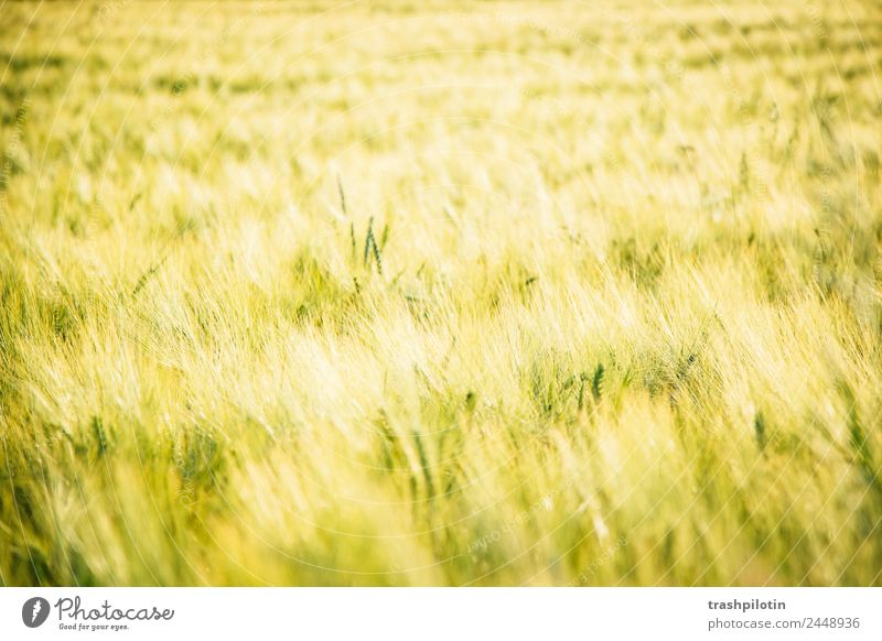 country life Environment Nature Landscape Plant Summer Beautiful weather Grass Agricultural crop Field Meadow Grain Grain field Cornfield Freedom Love of nature