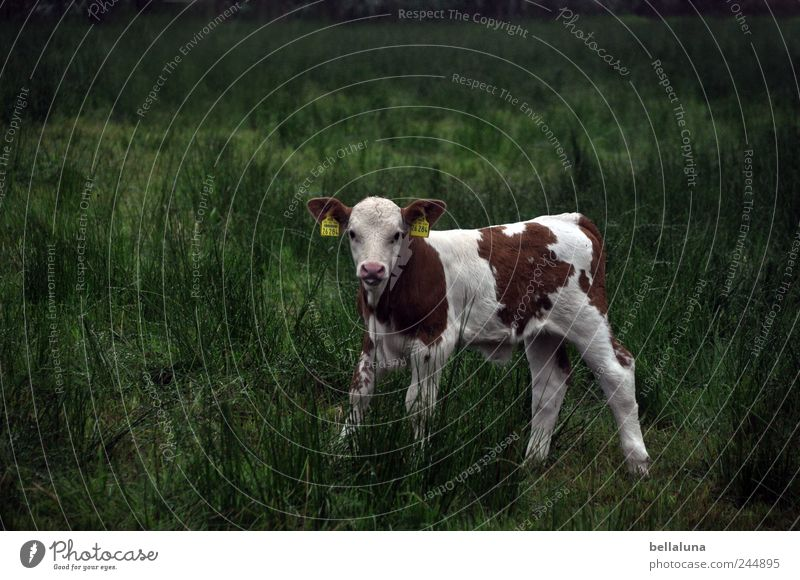 A little bit of cold. Nature Plant Animal Grass Wild plant Meadow Field Farm animal Cow 1 Baby animal Stand Calf Pasture White Brown Green Colour photo