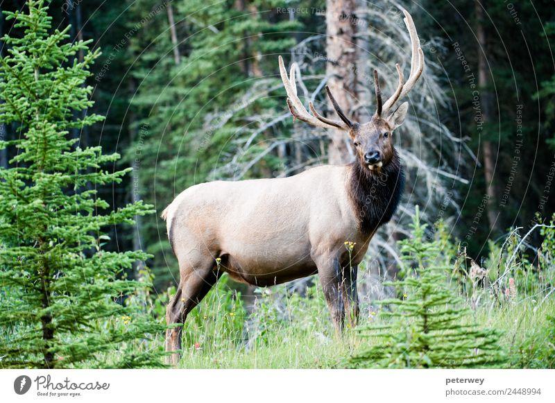 Rocky Mountain Elk, Banff National Park, Canada Summer Nature Animal Tree Grass Leaf Forest Wild animal 1 Experience cervus canadensis Alberta antlers big deer