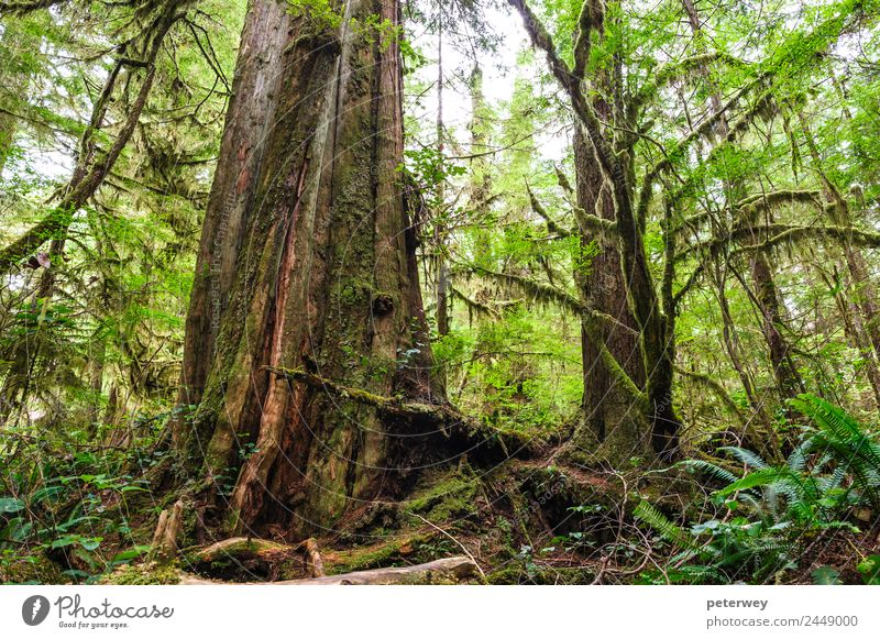 Big old trunk in rainforest on Vancouver island, Canada Beverage Leisure and hobbies Ride Hunting Children's game Vacation & Travel Trip Far-off places