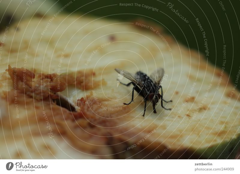 Animal Fruit Food Fly Nutrition Putrefy Apple Part Insect Half Pests Fruit flesh Sliced Hymenoptera Putrid Inedible