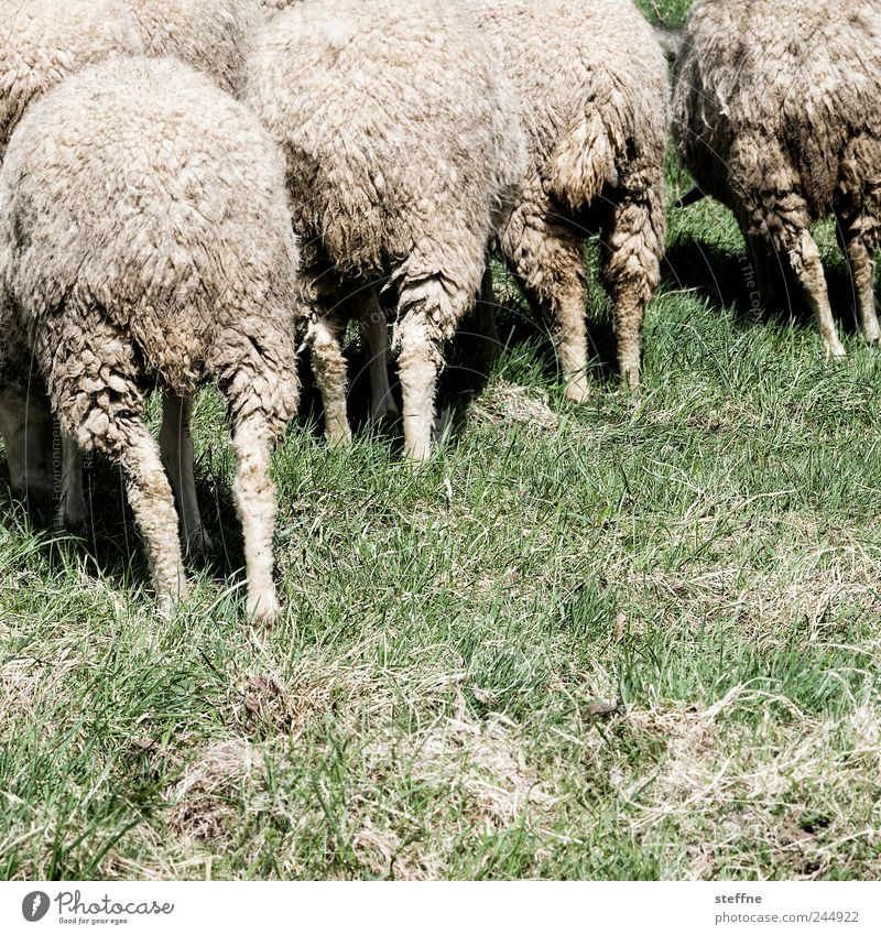 Animal Meadow Group of animals Sheep To feed Wool Herd Farm animal Flock