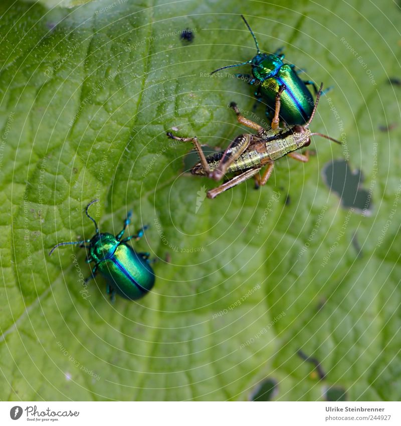 Nature Green Plant Summer Leaf Animal Friendship Together Glittering Pair of animals Threat To hold on Touch Wild animal To feed Beetle