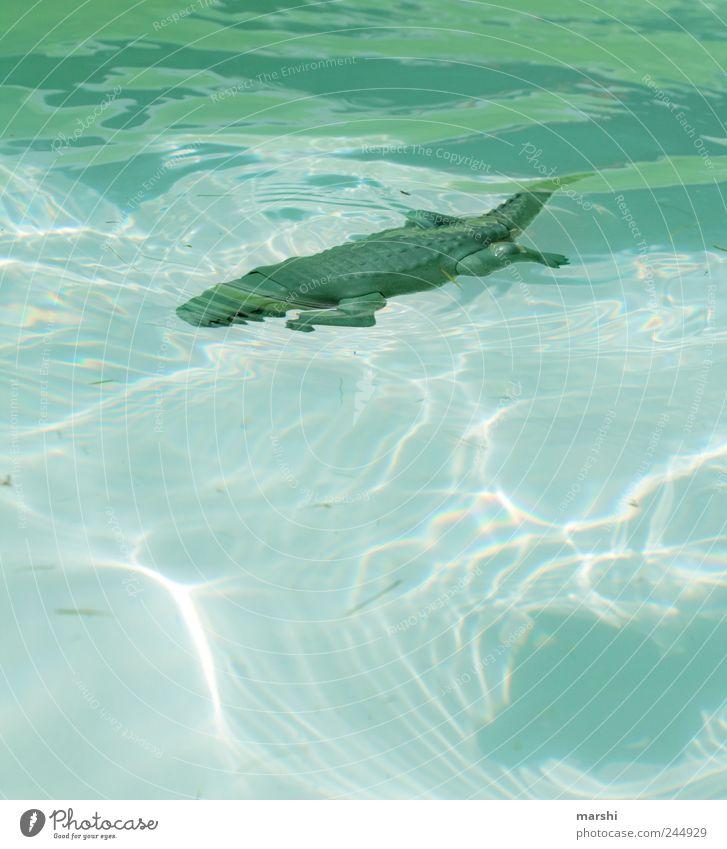 No bathing! Animal Wild animal 1 Blue Green Crocodile Water Swimming pool Threat Dangerous Risk Glittering Deep Colour photo Exterior shot