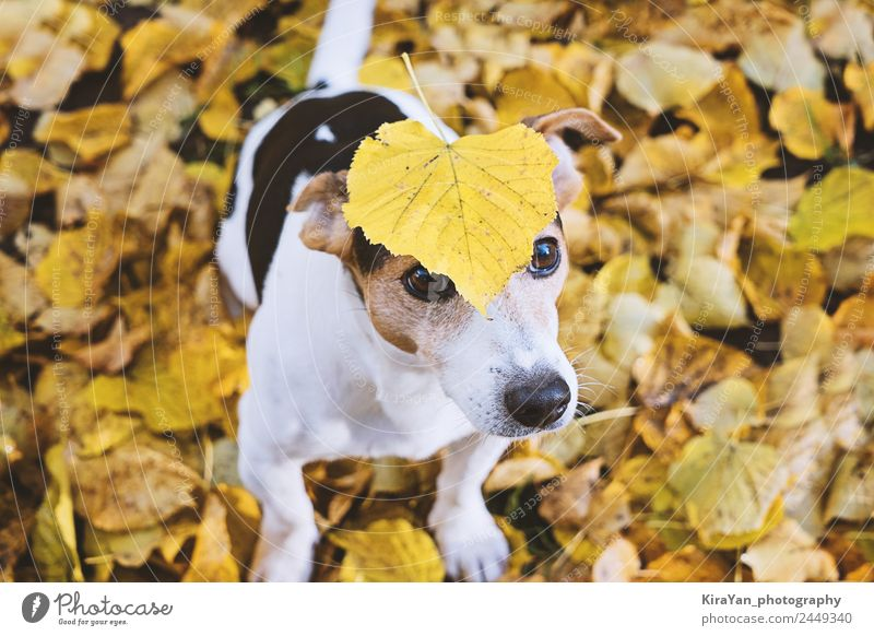 Dog sitting in autumn foliage with big yellow leaf on head Nature Red Leaf Forest Adults Yellow Autumn Funny Happy Playing Brown Friendship Leisure and hobbies