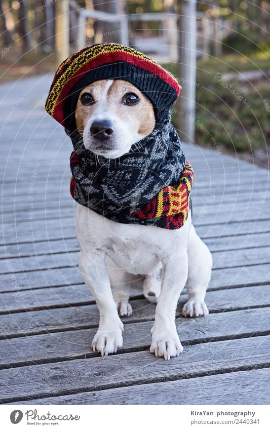 Portrait of cute jack russell dog wearing in knitted beret Dog Animal Winter Autumn Funny Style Happy Small Fashion Park Weather Sit Clothing Cute Dress Seasons