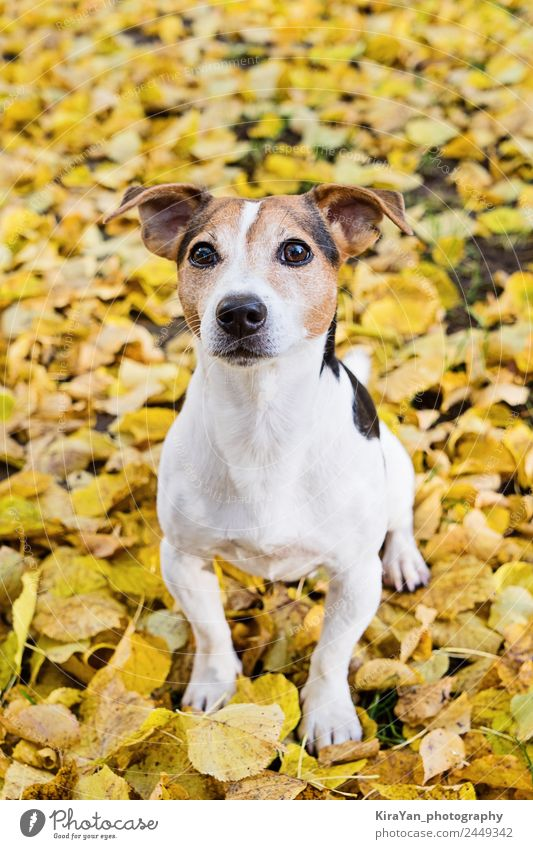 Adorable terrier dog sitting in yellow autumn leaves Nature Dog Red Leaf Forest Adults Yellow Autumn Funny Happy Playing Brown Friendship Leisure and hobbies