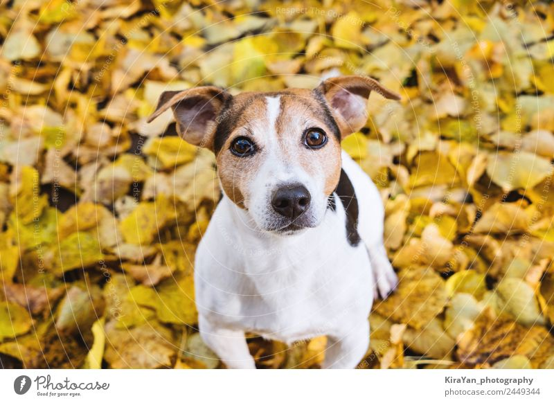 Portrait of cute dog in yellow autumn linden leaves Nature Dog Red Leaf Forest Adults Yellow Autumn Funny Happy Playing Brown Friendship Leisure and hobbies