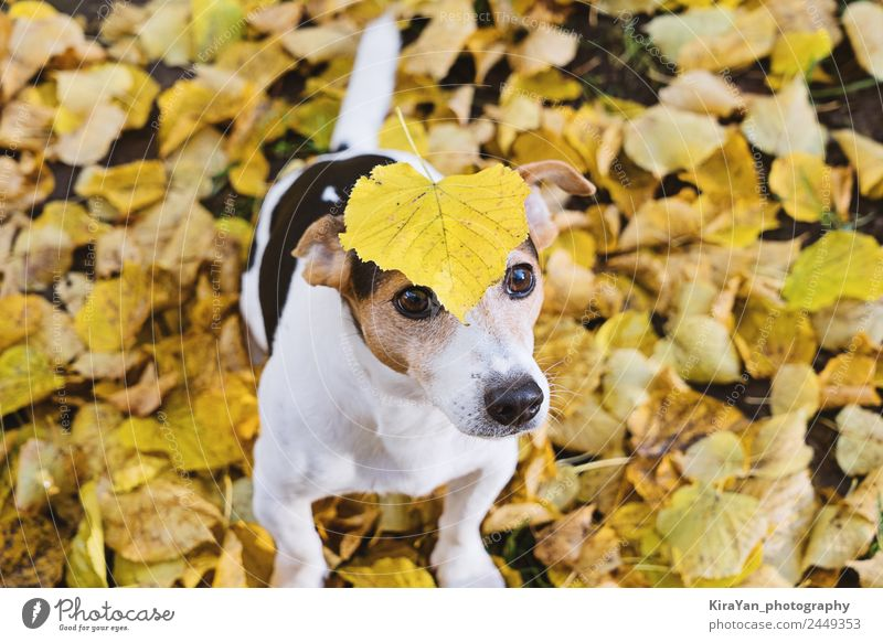 Funny dog with big yellow leaf on head Nature Dog Red Leaf Forest Adults Yellow Autumn Happy Playing Brown Friendship Leisure and hobbies Park Weather
