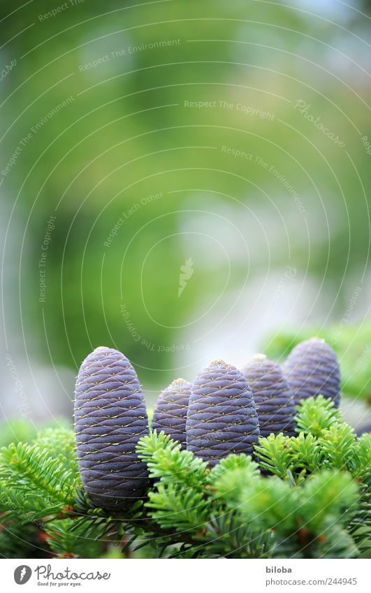 tenons Nature Plant Tree Fir tree Cone Fresh New Green Violet 5 Exterior shot Back-light Shallow depth of field