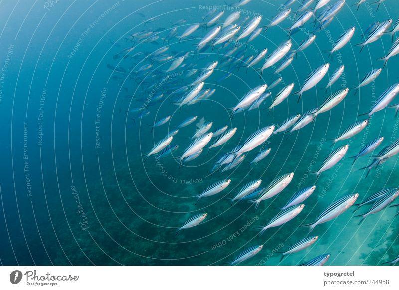 From diagonally below Vacation & Travel Ocean Dive Animal Reef Fish Flock Swimming & Bathing Blue Silver Dahab Sinai Gabl El Bint Red Sea Shoal of fish