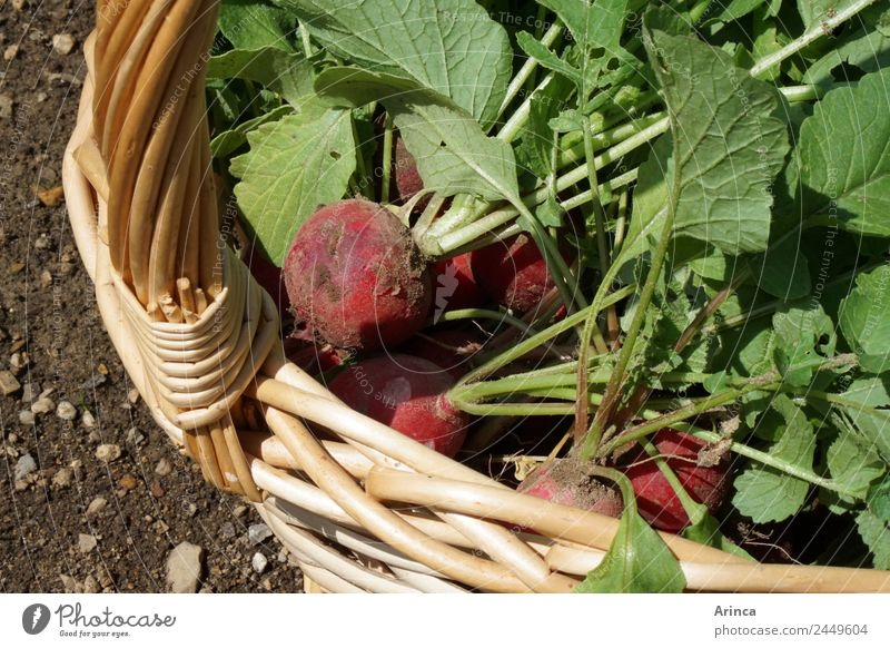 Radish in basket Food Vegetable Organic produce Nature Earth Eating Sustainability Red Crunchy Fresh Garden Bed (Horticulture) Collection Vegetable bed Harvest