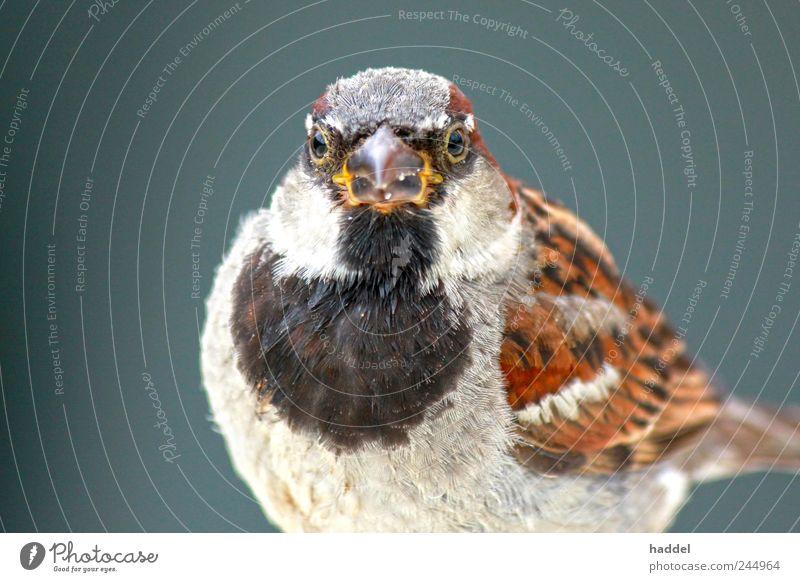 Little Eagle Sparrow Environment Nature Animal Air Sky Wild animal Bird 1 Blue Brown Multicoloured Gray Black White Beak Feather Chirping Disheveled Fat Lush