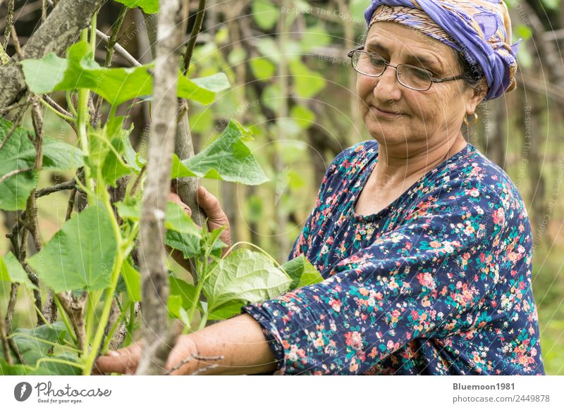 Portrait of a senior Muslim woman gardening cucumber plants Woman Human being Nature Healthy Eating Old Blue Plant Beautiful Green Lifestyle Adults