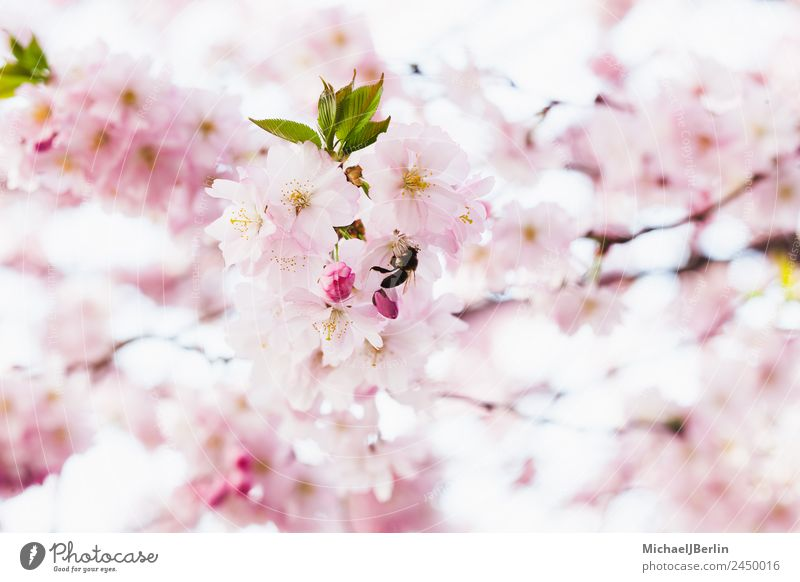 Nature Plant Beautiful Green Tree Spring Blossom Pink Beautiful weather Bud Cherry blossom