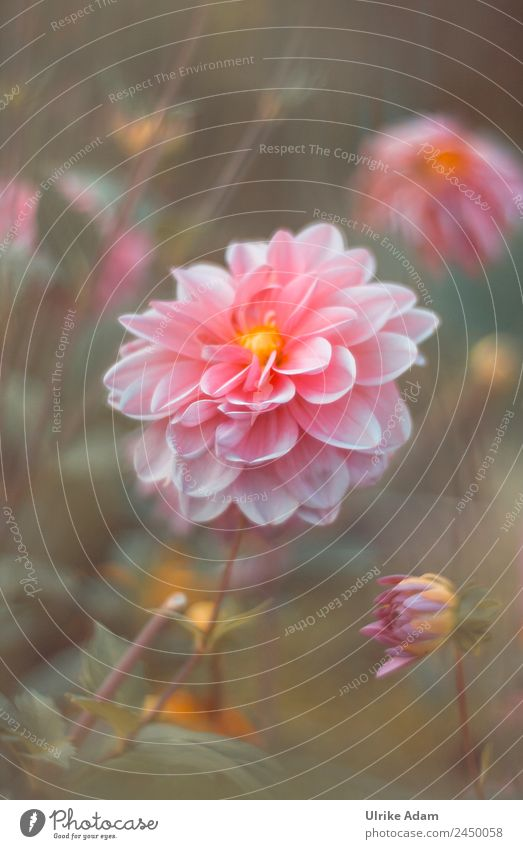 Flower Magic - The Dahlia - Flowers Wellness Life Harmonious Well-being Contentment Relaxation Calm Meditation Spa Decoration Wallpaper book cover