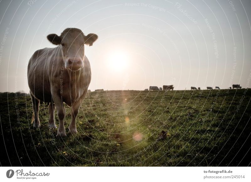 cool sunset Environment Nature Landscape Elements Air Cloudless sky Horizon Sun Sunrise Sunset Grass Foliage plant Meadow Field Animal Farm animal Cow 1