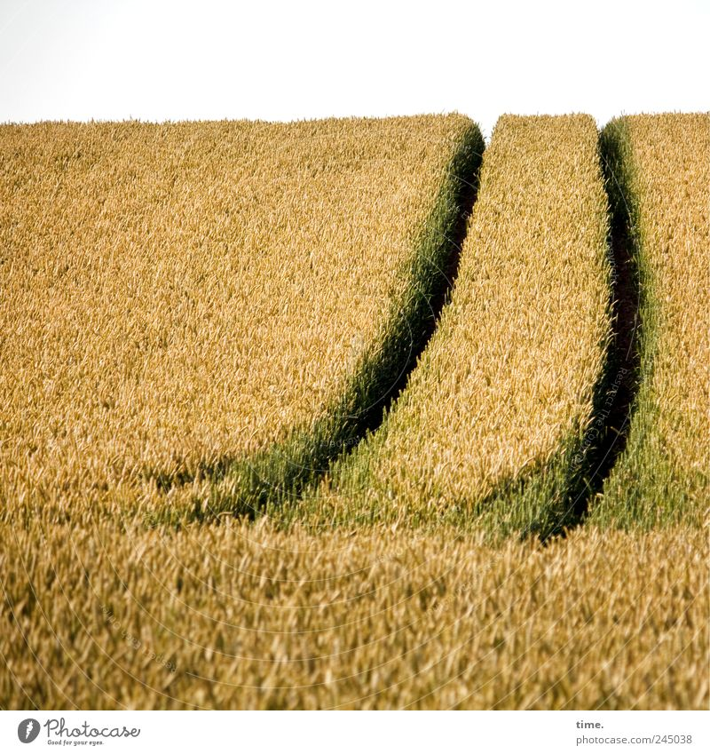 Nature Green Plant Summer Yellow Lanes & trails Field Food Horizon Natural Tracks Hill Grain Agriculture Curve Blade of grass